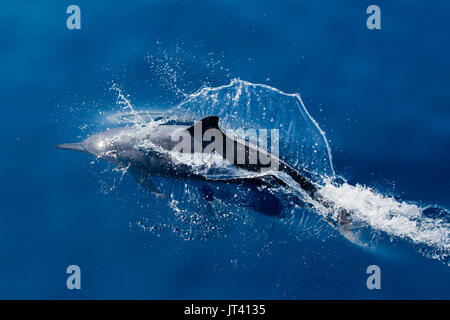Spinner Dolphin (Stenella longirostris) surfacing in the glassy calm sea of Indonesia - Stock Photo