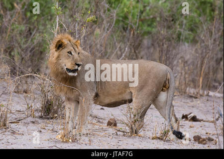 Portrait of a male lion (Panthera leo), Savuti, Chobe National Park, Botswana, Africa - Stock Photo