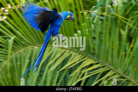Hyacinth Macaw (Anodorhynchus hyacinthinus) in flight, Pantanal, Brazil. Vulnerable species. - Stock Photo