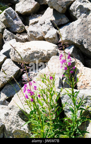 Calluna vulgaris (known as common heather, ling, or simply heather). Photographed in the Spanish Pyrenees mountain - Stock Photo