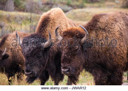 A trio of hump-backed wild American bison. - Stock Photo