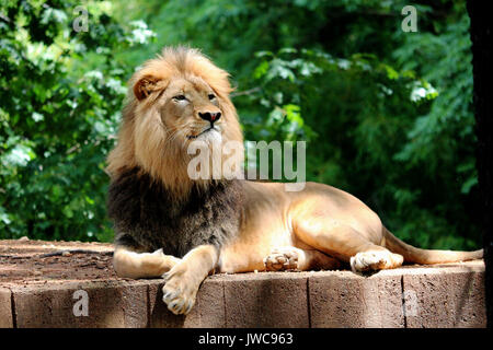 A Lion Relaxing in his Habitat with A Leafy Green Background. - Stock Photo