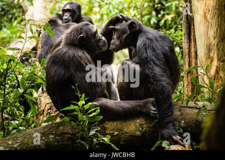 Common chimpanzees (Pan Troglodytes) in forest, grooming, Kibale National Park, Uganda - Stock Photo