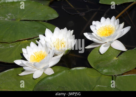White water lilies in dark water on a sunny day. - Stock Photo