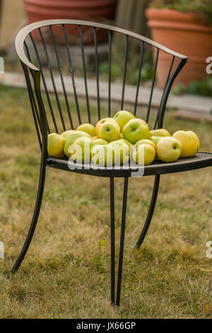 Freshly havested Golden Delicious apples on a lawn chair in Carnation, Washington, USA - Stock Photo