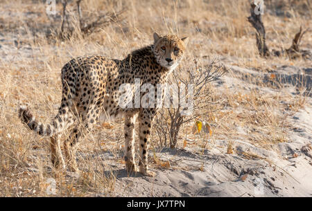 Cheetah, acinonyx jubatus, in Linyanti Wildlife Reserve in northern Botswana. - Stock Photo