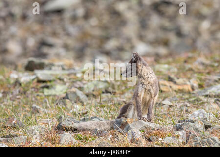 Arctic fox cub looking to the side, Svalbard - Stock Photo