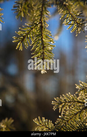 Frost covered dew drops are glittering on fir twigs on an autumn morning. - Stock Photo