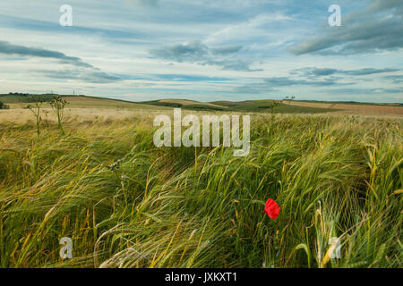Poppy in a barley field on the South Downs, West Sussex, England. - Stock Photo