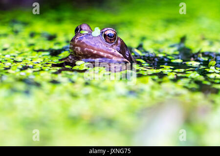 Common Frogs in a British garden pond - Stock Photo
