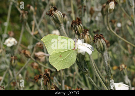 Brimstone butterfly (Gonepteryx rhamni) feeding on a white flower with wings folded. View of underside of the wings. - Stock Photo