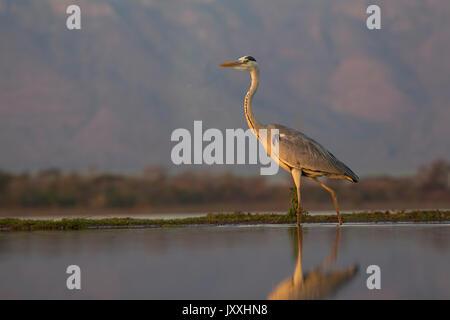 Grey Heron Ardea cinerea at the waters edge at dusk - Stock Photo