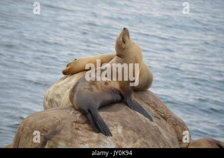 the magicall seals of san diego - Stock Photo