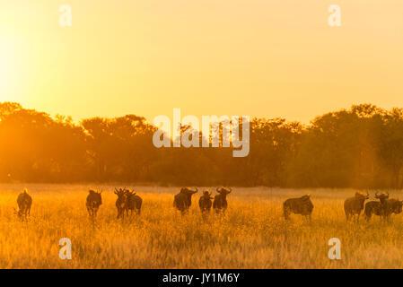 Blue Wildebeest in Zimbabwe's Hwange National Park. - Stock Photo