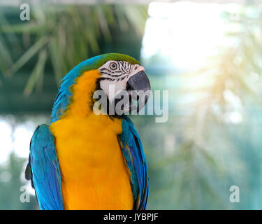 Blue-and-yellow macaw Stand on a branch with bokeh  background. - Stock Photo
