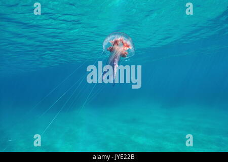 Underwater jellyfish mauve stinger Pelagia noctiluca close to water surface, Mediterranean sea, Italy - Stock Photo