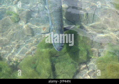 Fish in the shallows from the surface - Stock Photo
