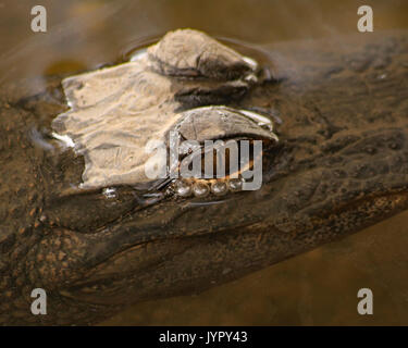Small Alligator with just eyes above water - Stock Photo