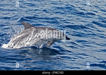 Common Bottlenose Dolphin (Tursiops truncates) porpoising in the waters of the Azores - Stock Photo