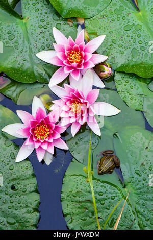 Water lilies and a frog - Stock Photo