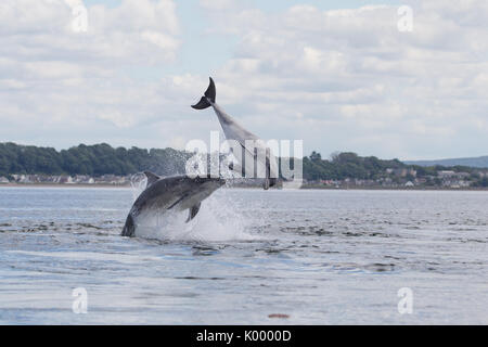 Bottlenose dolphins breaching in the waters of the Moray Firth, near Chanonry Point, in the Scottish Highlands. - Stock Photo