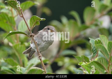 Passer domesticus on a branch, beautiful bird, nature - Stock Photo