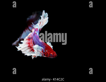 beautiful siamese fighting fish on black background - Stock Photo