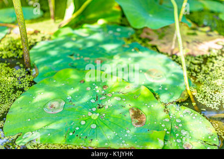 Macro closeup of large water drops on lily lotus pads in pond marsh during sunny summer - Stock Photo