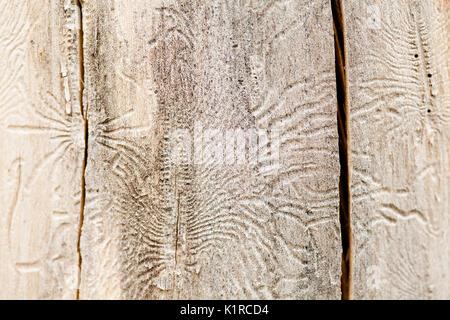 Bark beetle galleries on the tree - Stock Photo