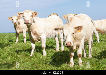 Herd of  white Charolais beef cows in a lush green hilltop pasture with light morning mist in the sky  peering curiously - Stock Photo