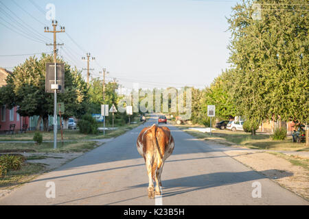 Cow walking alone on the center of a paved road in the main street of Dubovac, Serbia. The serbian countryside is - Stock Photo