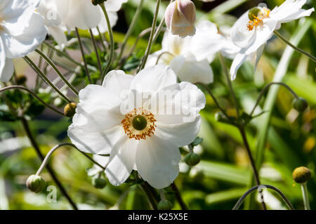 Japanese anemone, Anemone japonica - Stock Photo