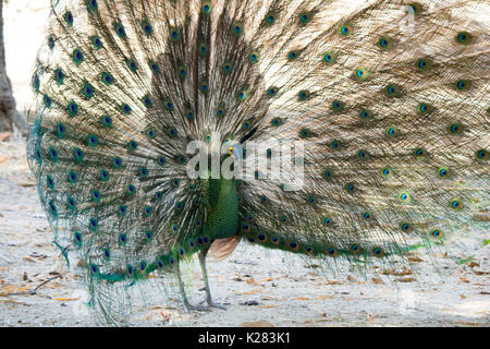 Peacock in the zoo - Stock Photo
