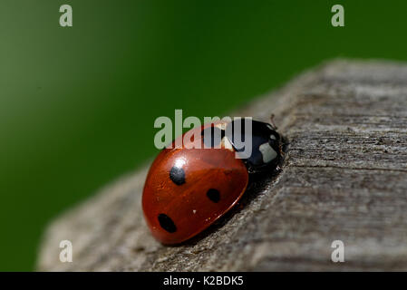 Macro close up of ladybird beetle on wooden post in late summer - Stock Photo
