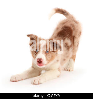 Playful Red merle Border Collie puppy in play-bow. - Stock Photo