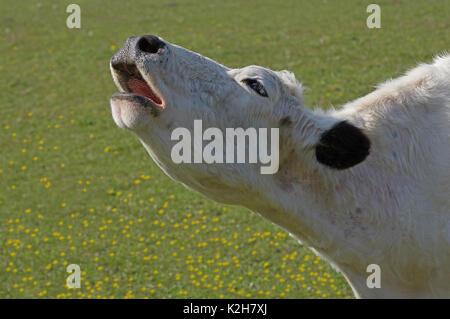 Domestic Cattle, White Park Cattle (Bos primigenius taurus) , cow mooing, portrait. - Stock Photo