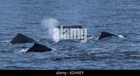 Group of humpback whales  (Megaptera novaeangliae) in Southeast Alaska's Inside Passage. - Stock Photo