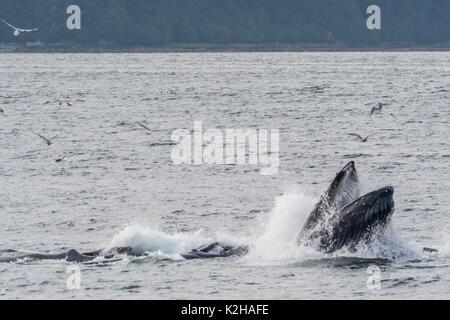 Group of humpback whales (Megaptera novaeangliae) bubble net feeding in Southeast Alaska's Inside Passage. - Stock Photo