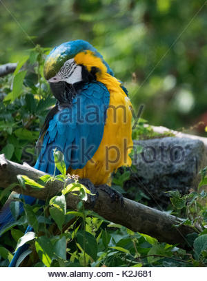 The macaw, or New World parrot with vibrant blue and yellow colour on its feathers. The  Neotropical parrot bird - Stock Photo