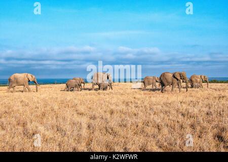 Herd of African Elephants, Loxodonta africana, walking across dry grass in Ol Pejeta Conservancy, Samburu, Northern - Stock Photo