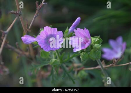 mauve Malva or Mallow, Malva sylvestris, Malwe, bright purple Malva flowers - Stock Photo