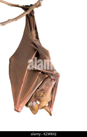 Franquet's epauletted fruit bat (Epomops franqueti) hanging in a tree, isolated on white background. - Stock Photo