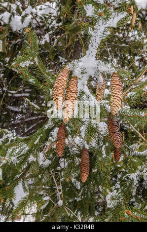 Slim,, long pine cones on a Norway Spruce (Picea abies) mixed with a bit of snow and green needles - Stock Photo