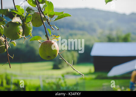 Apples on a tree in autumn. - Stock Photo
