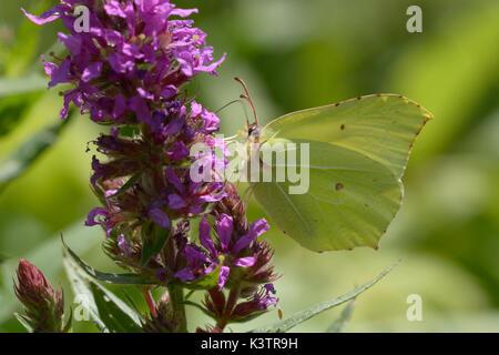 Common brimstone, Gonepteryx rhamni, sitting on a wild flower. - Stock Photo