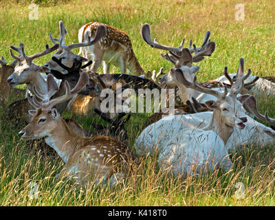 Herd of young Fallow Deer Bucks (Dama Dama) lying down in shade with velvet antlers, Bradgate Park, Leicestershire, - Stock Photo
