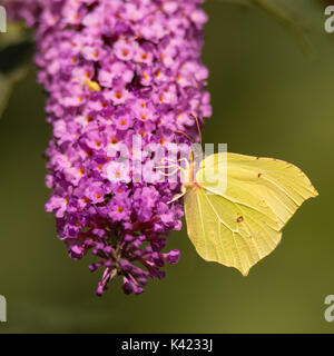 Brimstone (Gonepteryx rhamni) butterfly feeding on Buddleia. A male butterfly in the family Papilionidae nectaring - Stock Photo