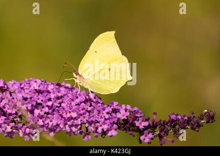 Brimstone (Gonepteryx rhamni) butterfly on Buddleia. A male butterfly in the family Papilionidae nectaring on butterfly - Stock Photo