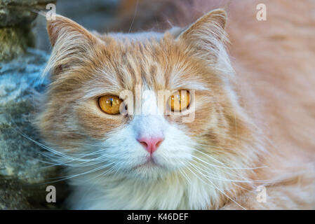 Outdoor close up portrait of a ginger brown cat with yellow eyes - Stock Photo