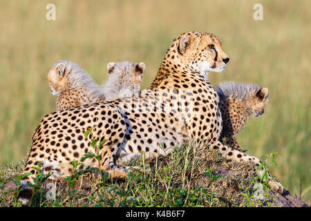 Cheetah with cubs lying on the African savanna - Stock Photo